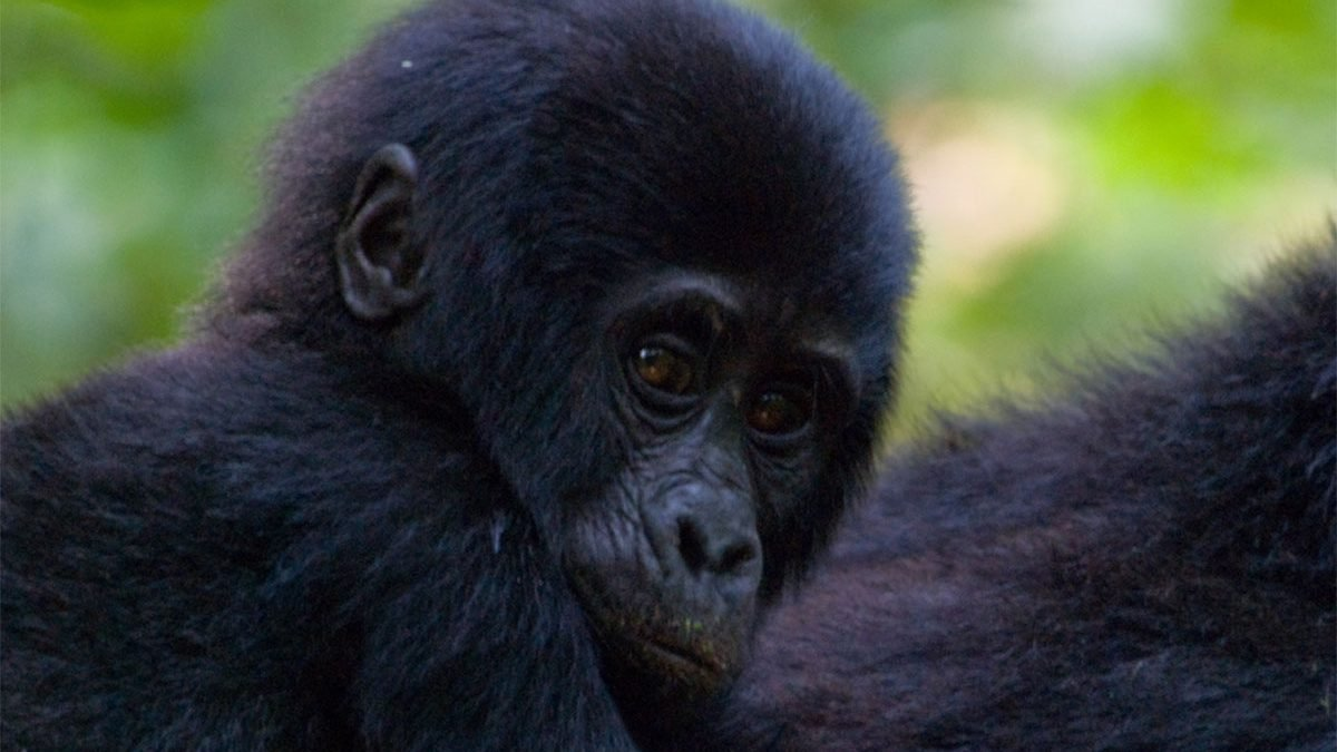 12 days Uganda primate and wildlife safari