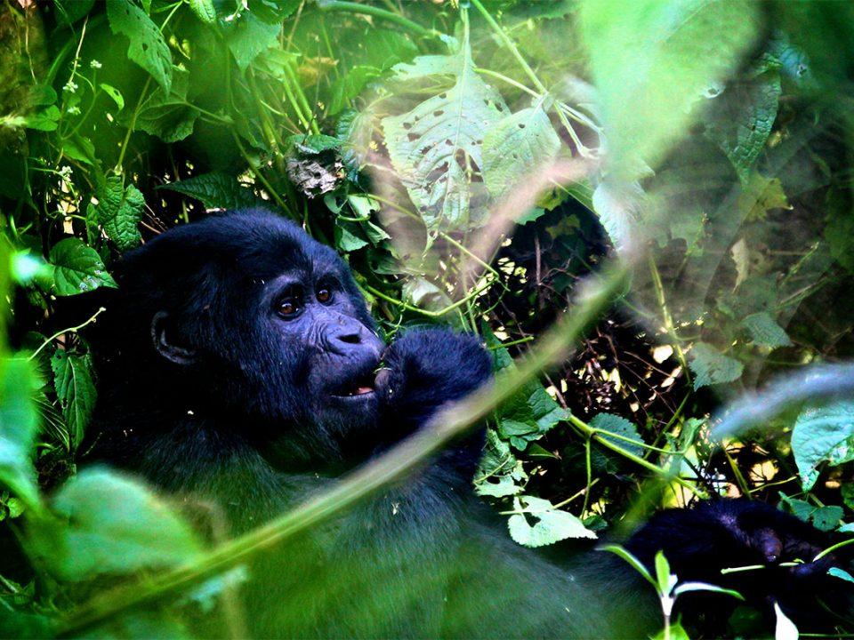 2 Days budget Uganda gorilla safari from Kigali