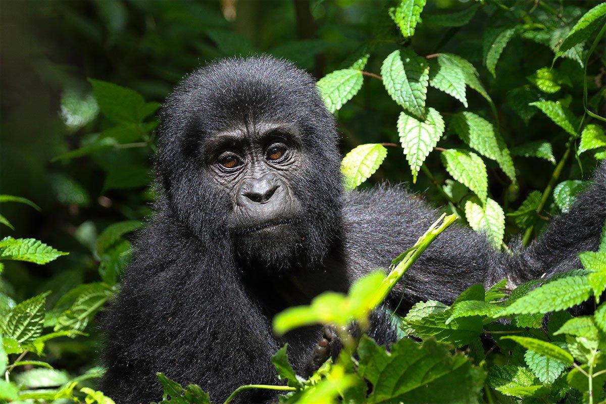 2 Days Uganda budget gorilla safari from Kigali