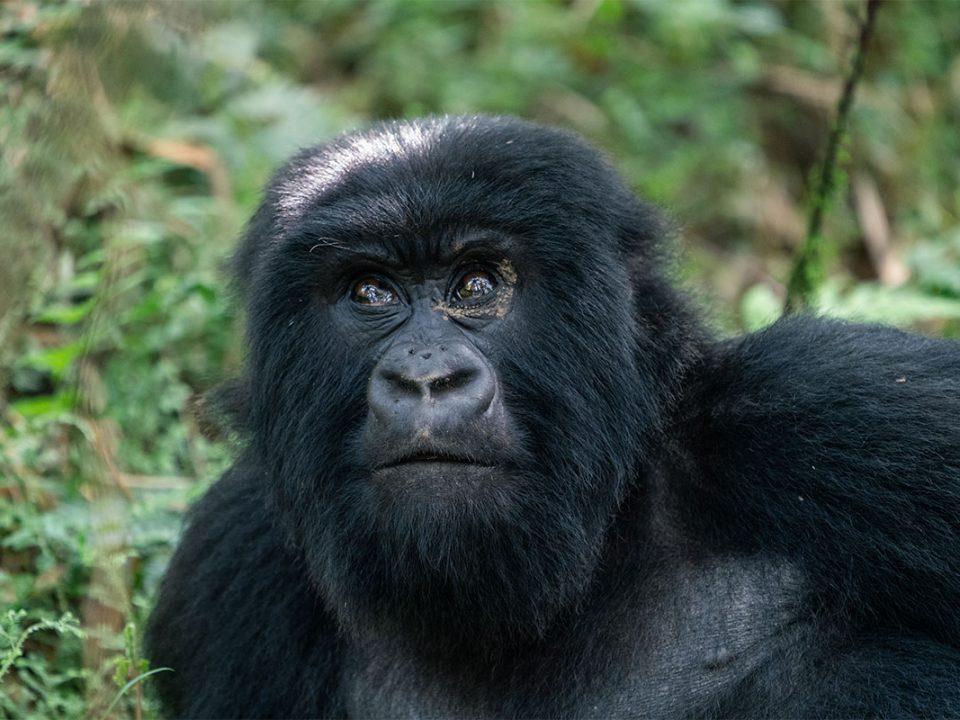 3 days bwindi gorilla flying safari