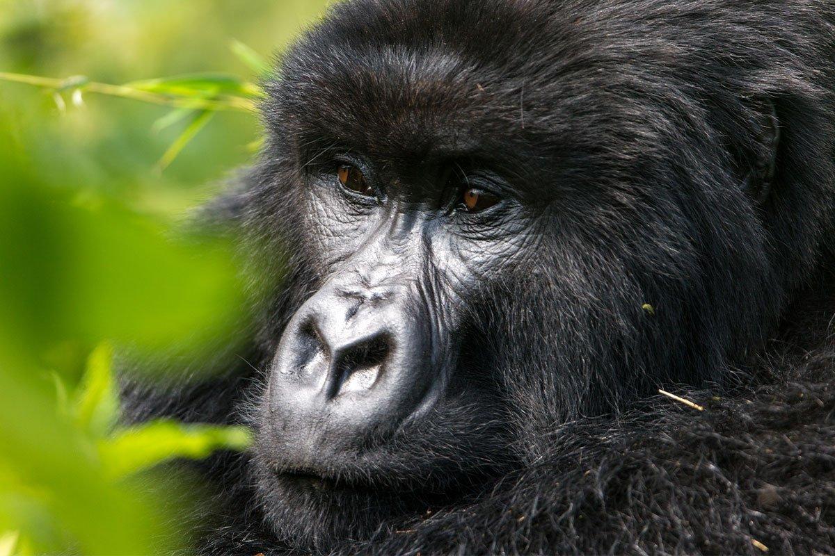 3 Days Bwindi Uganda gorilla trekking safari