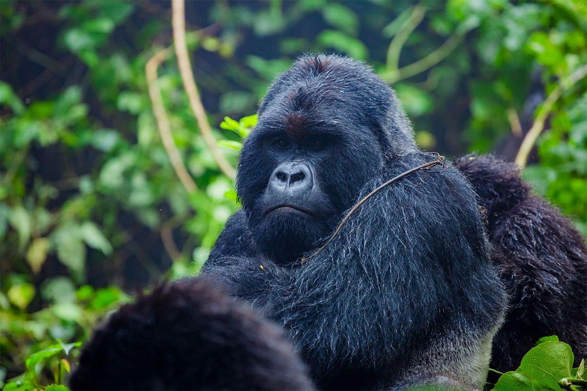 3 days off season gorilla tracking safari