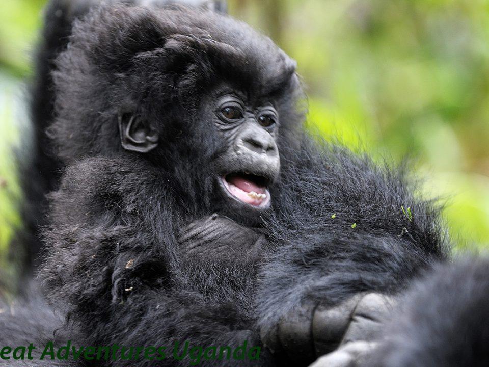 Rushaga Gorilla families,new Gorilla family rwigi,Great Adventures Uganda