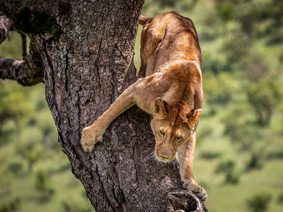 4 days Ishasha tree climbing lions safari