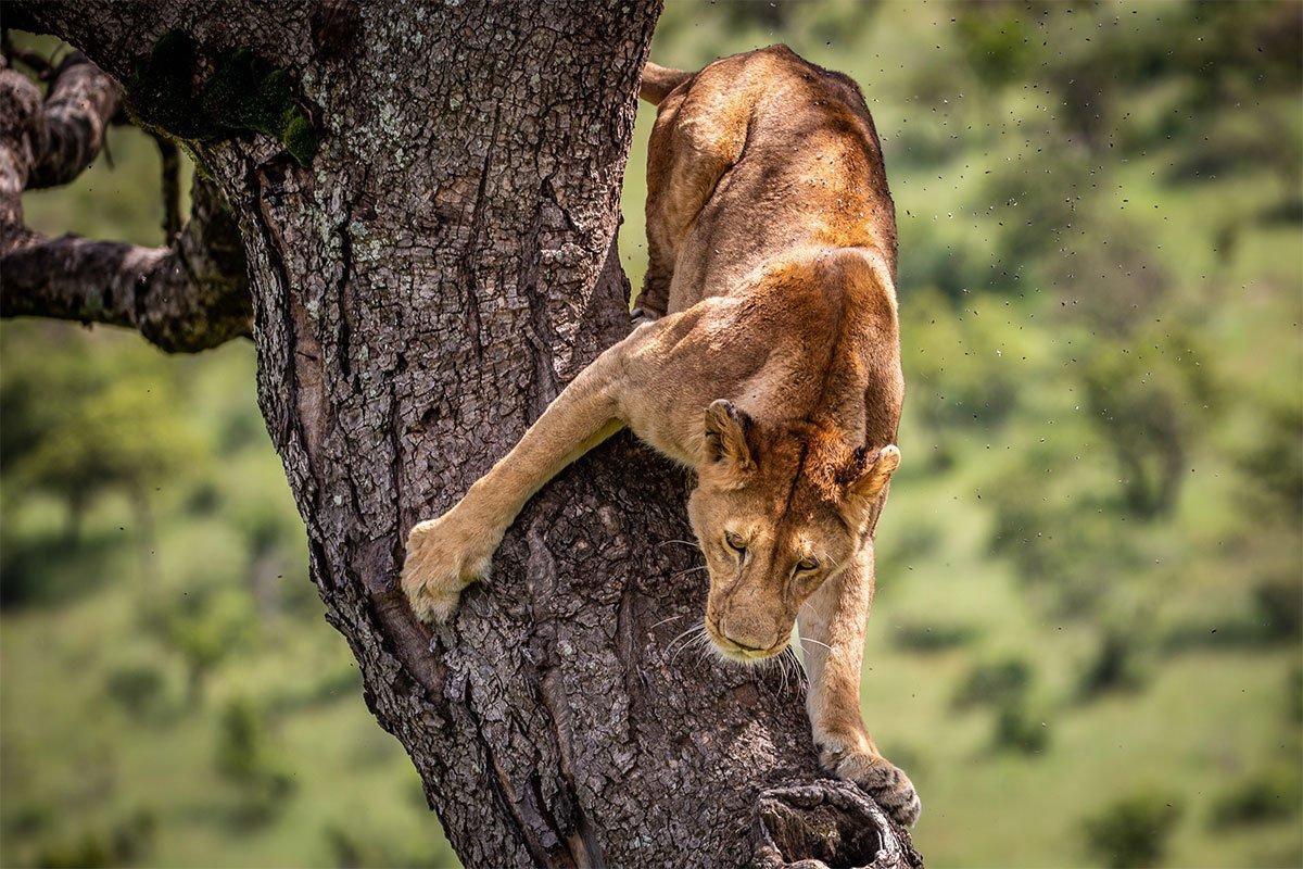 4 days Ishasha tree climbing lions safari
