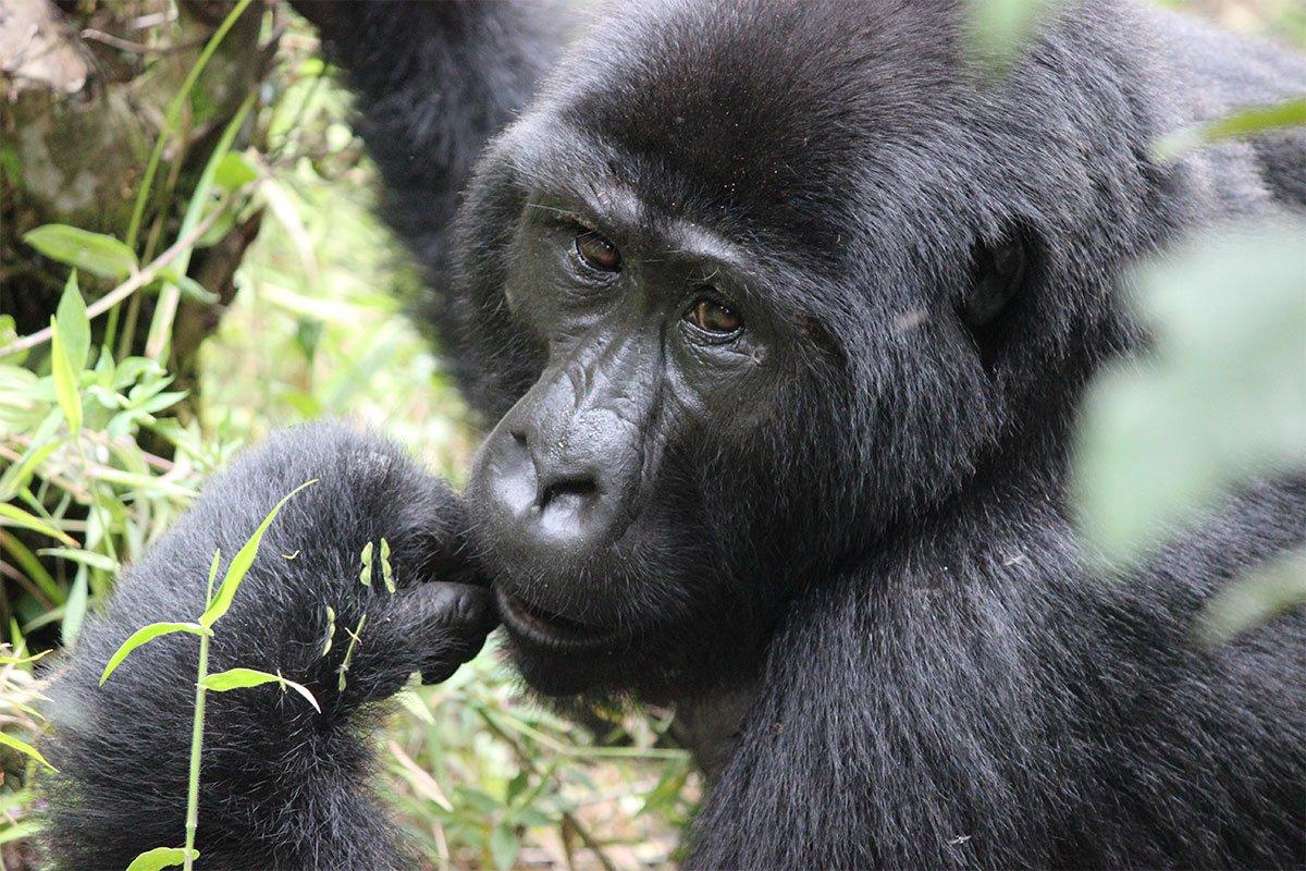 5 days Bwindi gorillas and tree climbing lions