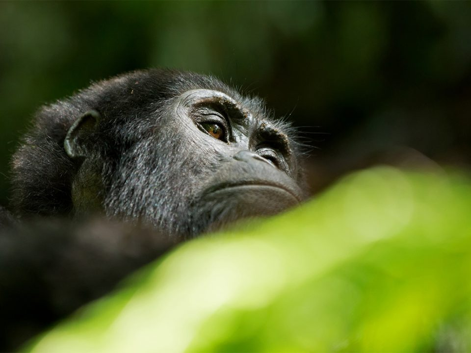 5 days Uganda gorilla and chimpanzee habituation safari