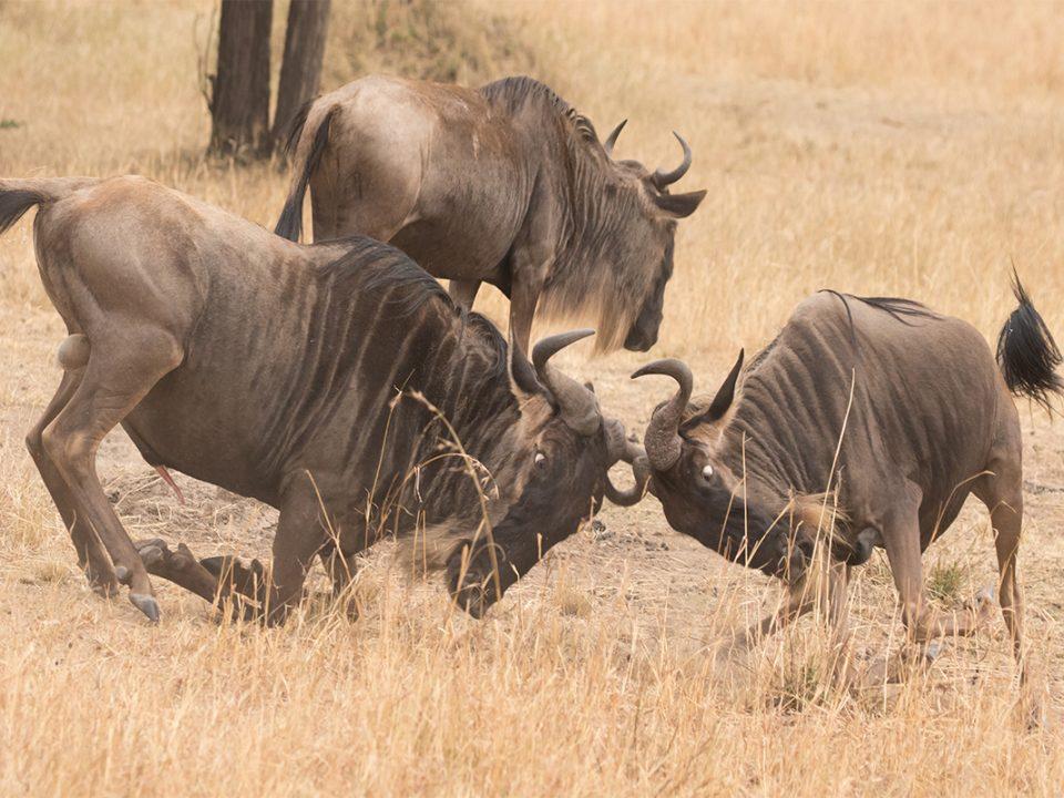 5 days wildebeest Rutting season