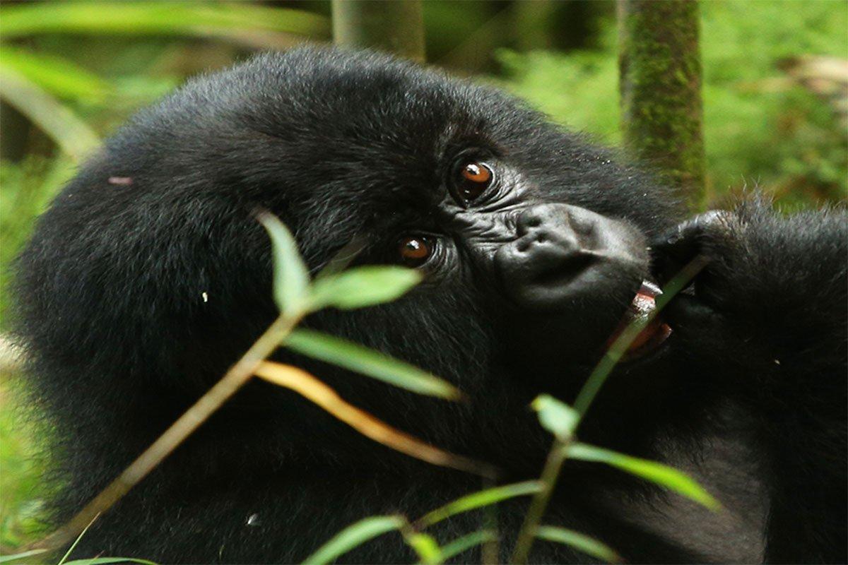 7 days Rwanda gorillas lake Kivu & chimpanzee tracking safari