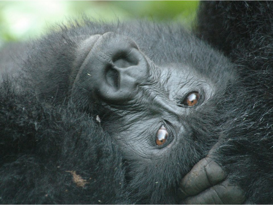 7 days Uganda gorillas, chimpanzee and wildlife safari