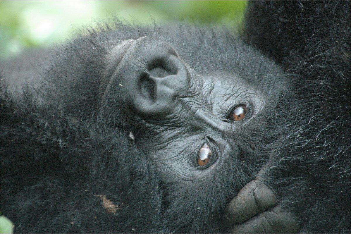 7 days Uganda gorillas, chimpanzee and wildlife safari