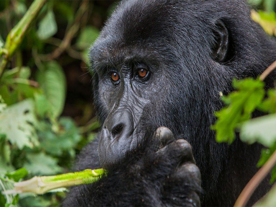 7 days gorilla trekking Uganda from Burundi border