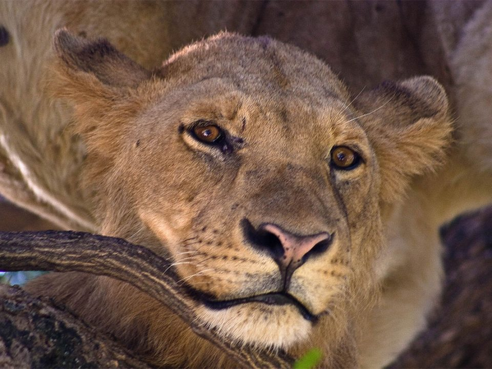 7 days Uganda gorilla,tree climbing lions and chimpanzee safari