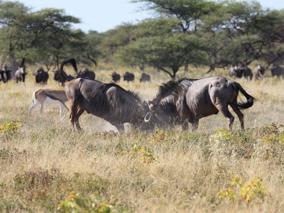 7 days wildebeest rut