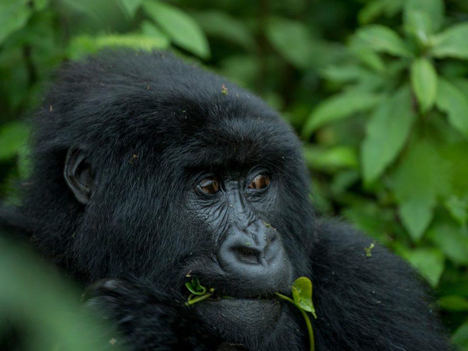 Adventure gorilla safaris