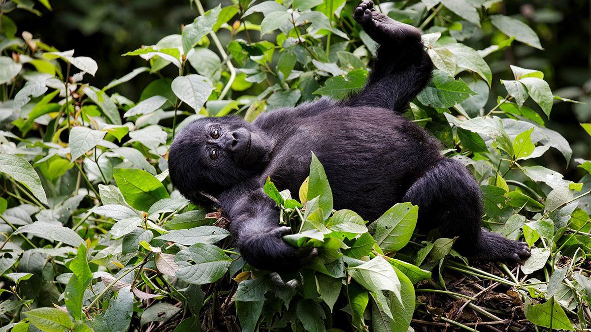 affordable gorilla trekking holidays 2020-2021