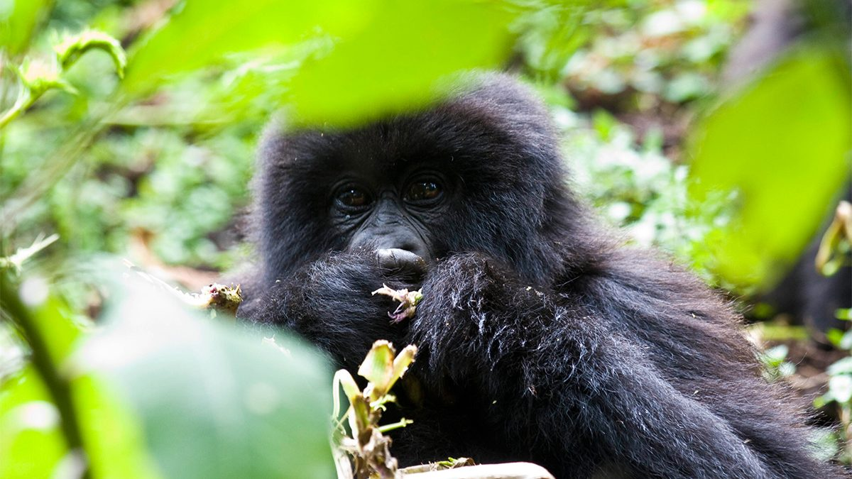 Affordable gorilla trekking safari company