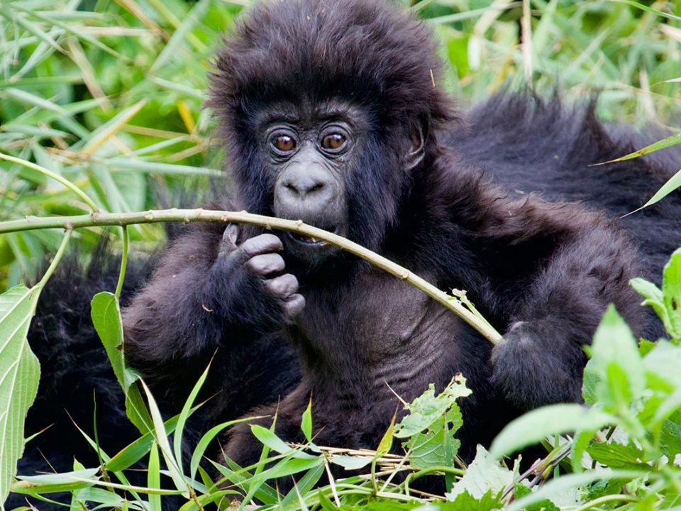 Africa best gorilla trekking company