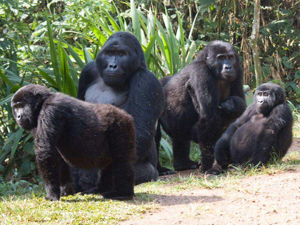 After COVID gorilla tracking safaris in Uganda