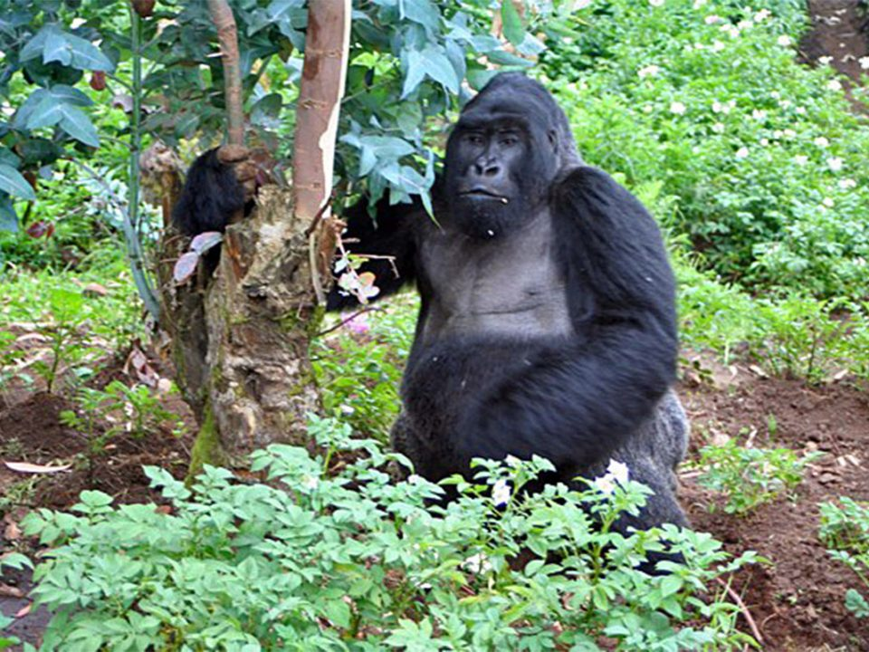 Amahoro gorilla family