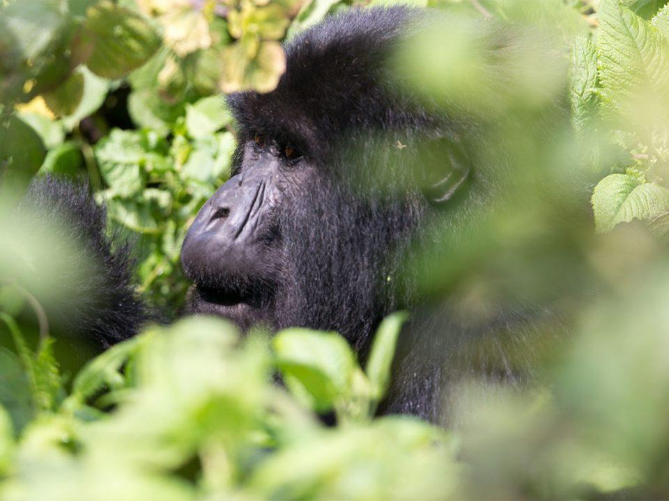 Anniversary trips to see mountain gorillas