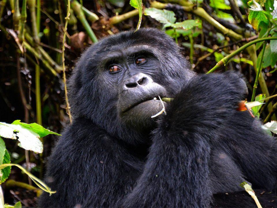 Ape trekking safaris in Uganda and Rwanda