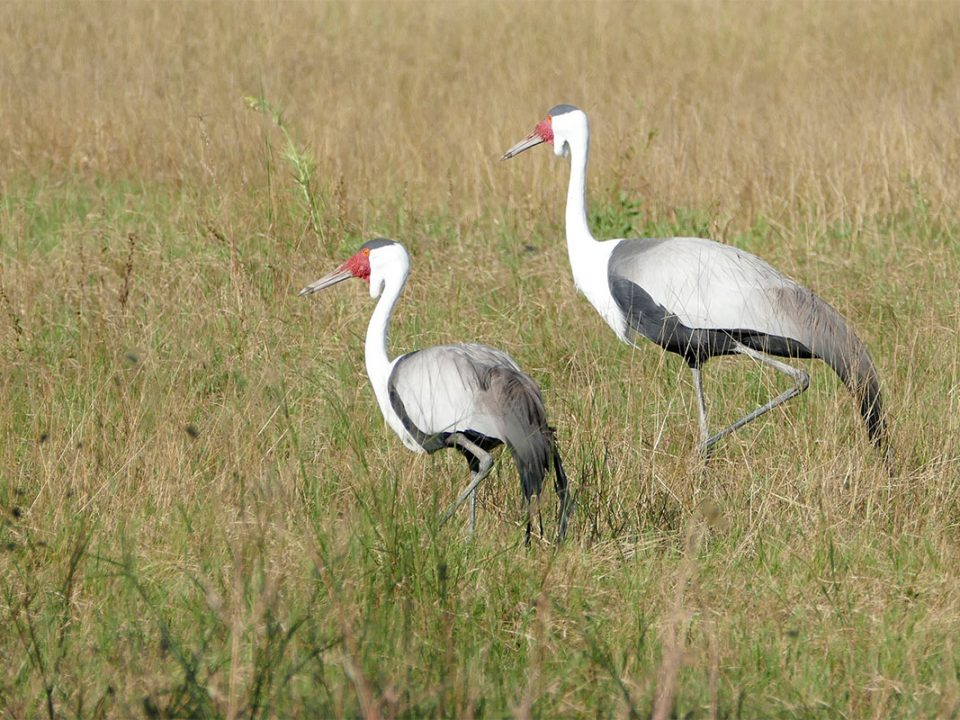 Explore birds of Bangweulu swamps