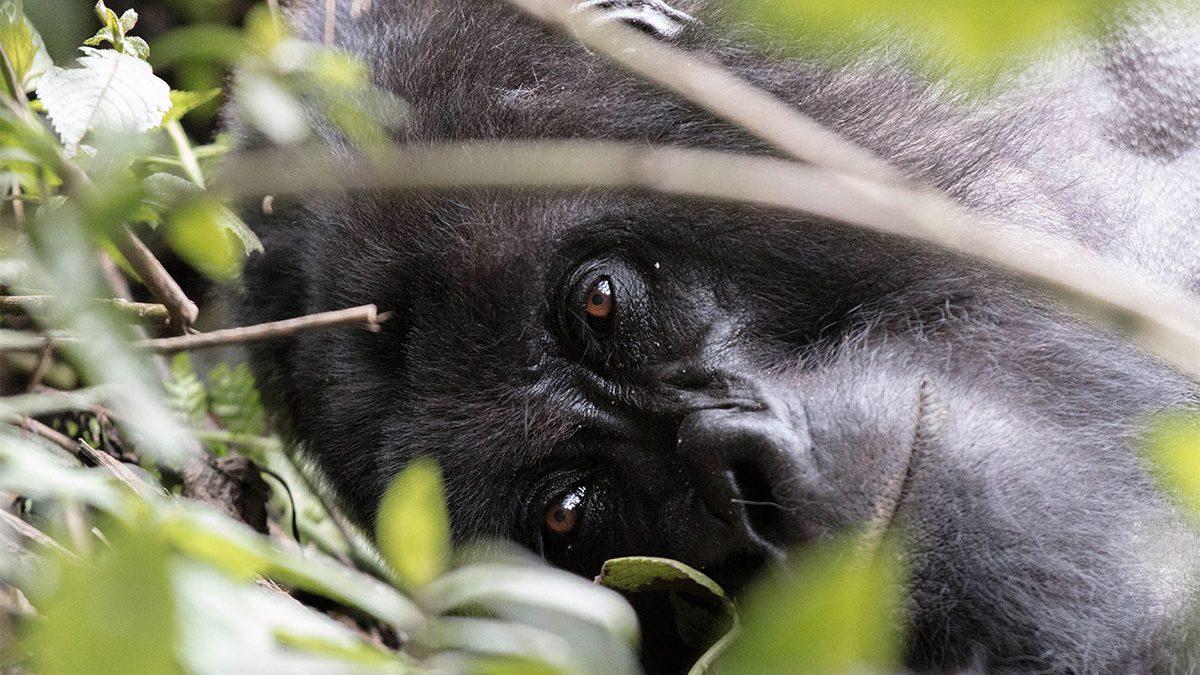 Best African gorilla safari trips