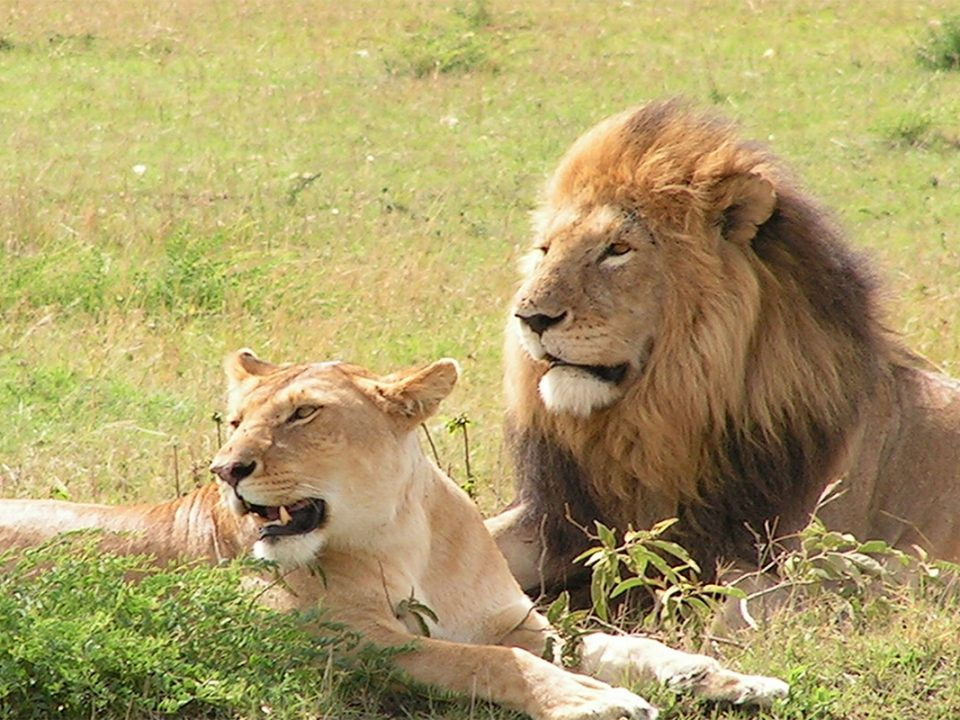 Best plces to see lions in Uganda