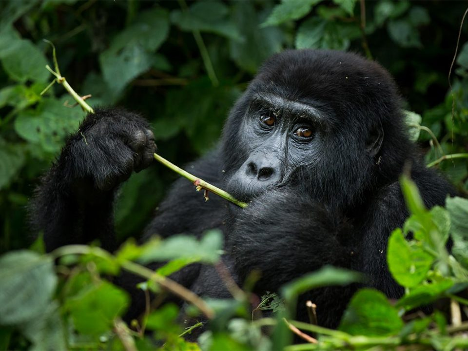 Best region for gorilla trekking