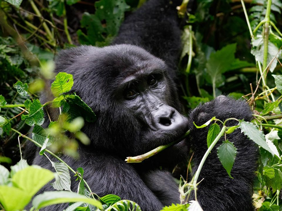 Best region to trek mountain gorillas - Gorilla Tracking
