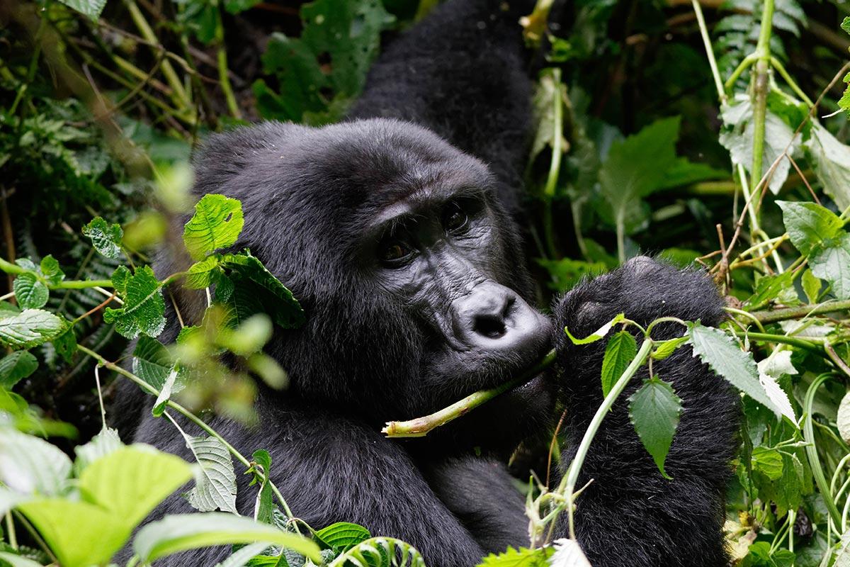 Best region to trek mountain gorillas - Gorilla Tracking