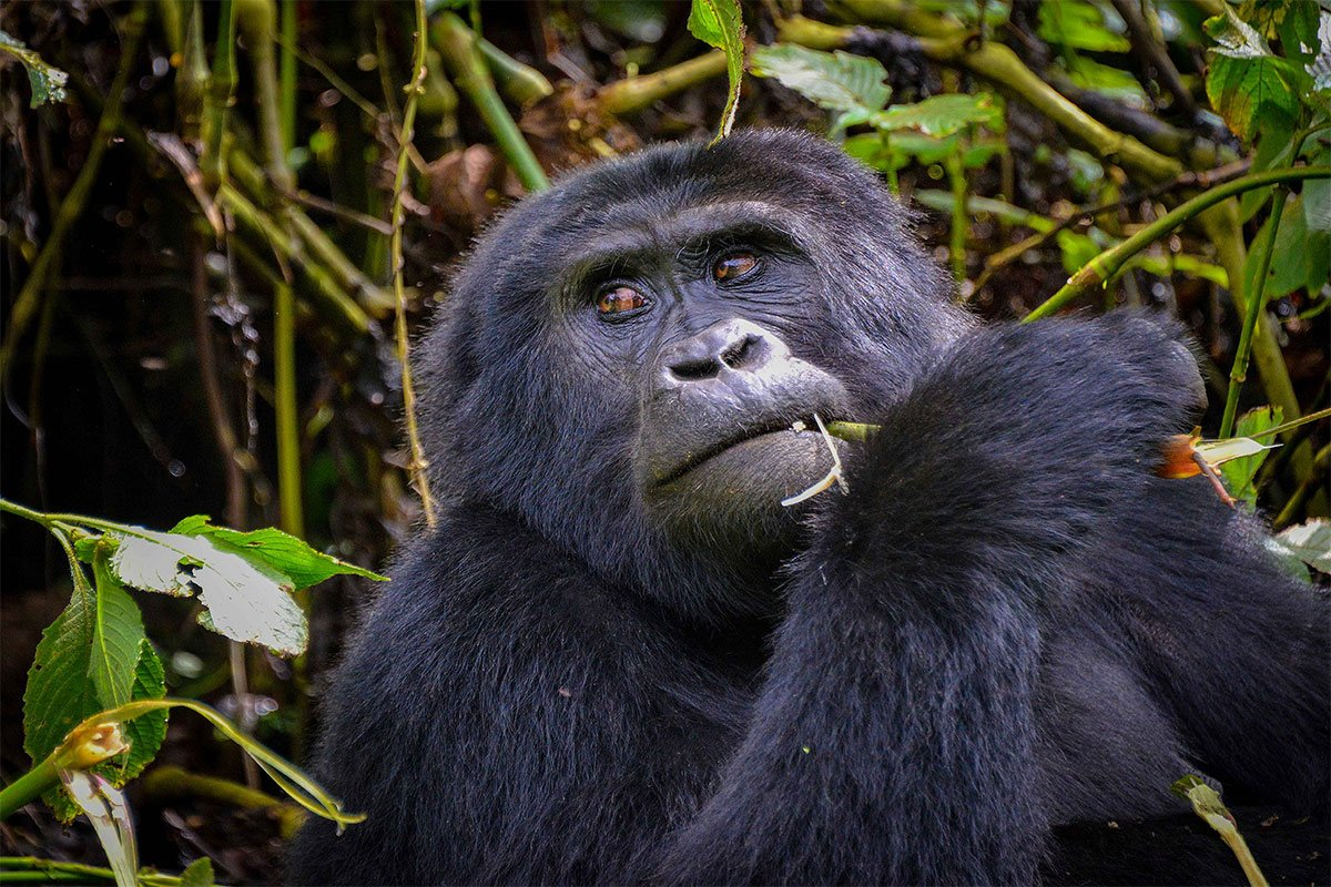Best time fr gorilla trekking in Bwindi impenetrable national park
