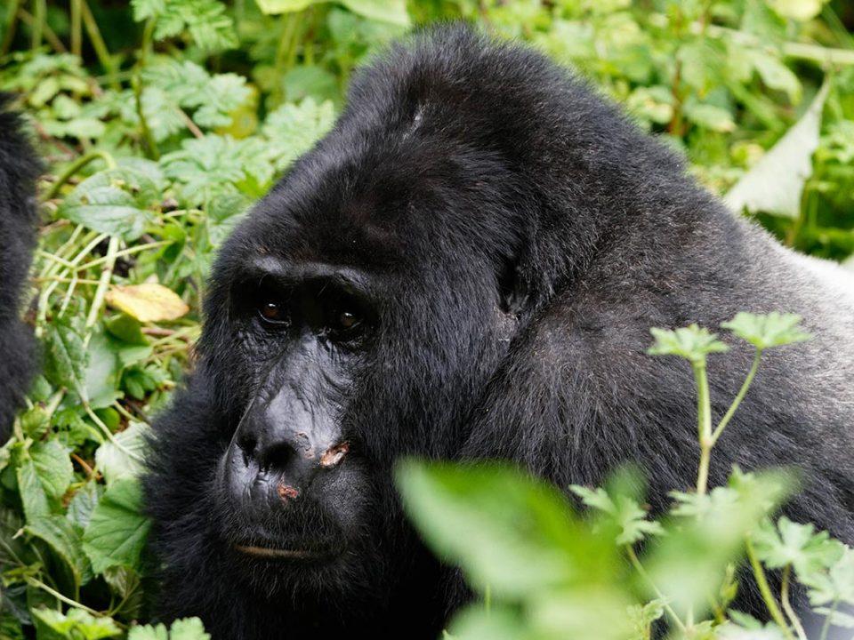 Best time of the year for gorilla trekking in Uganda