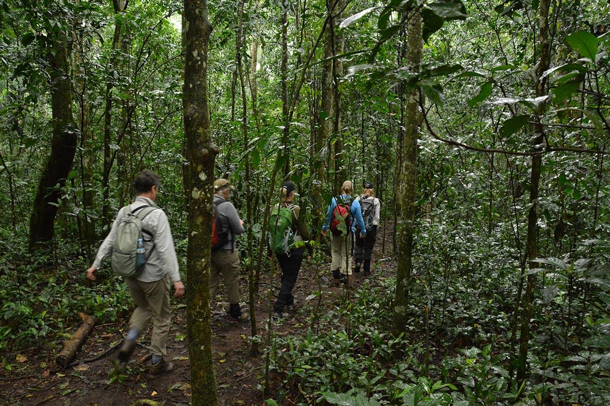 Best time to trek chimpanzees, Great Adventures Uganda