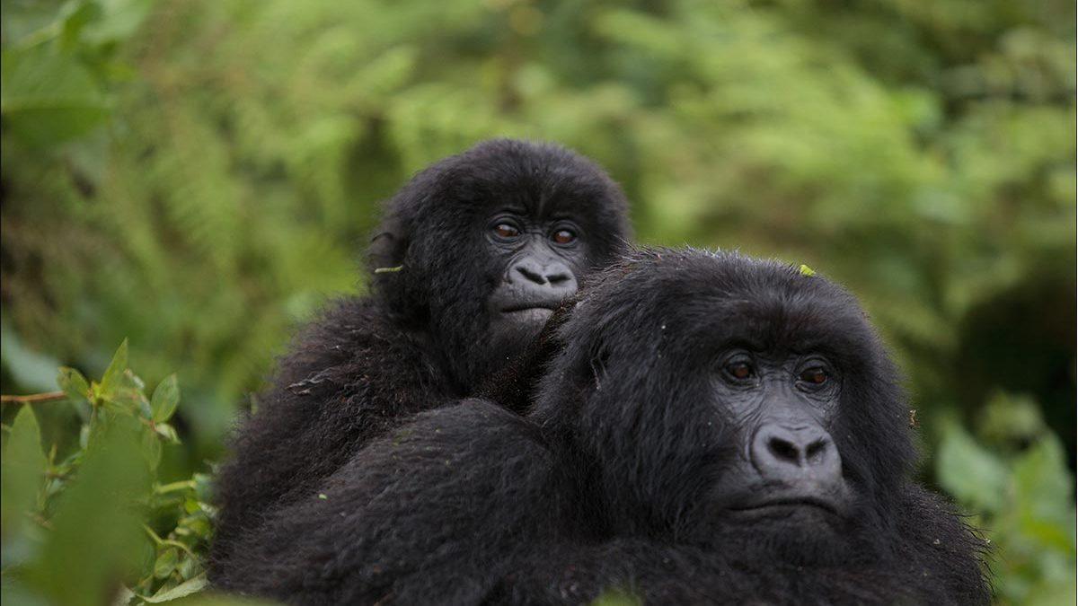 Book Volcanoes gorilla permits