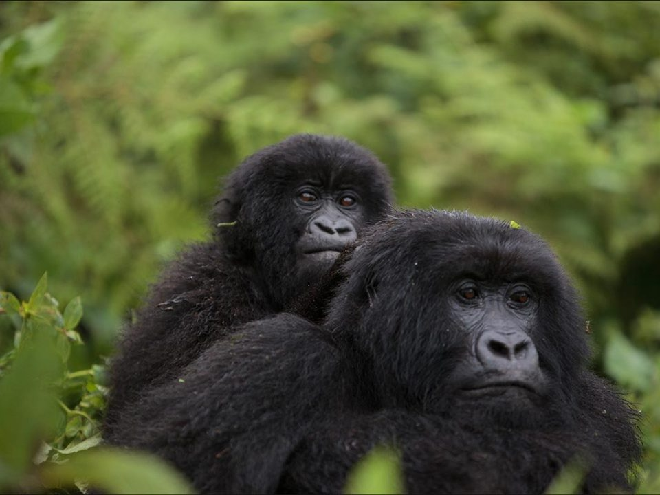 Book Volcanoes gorilla permits