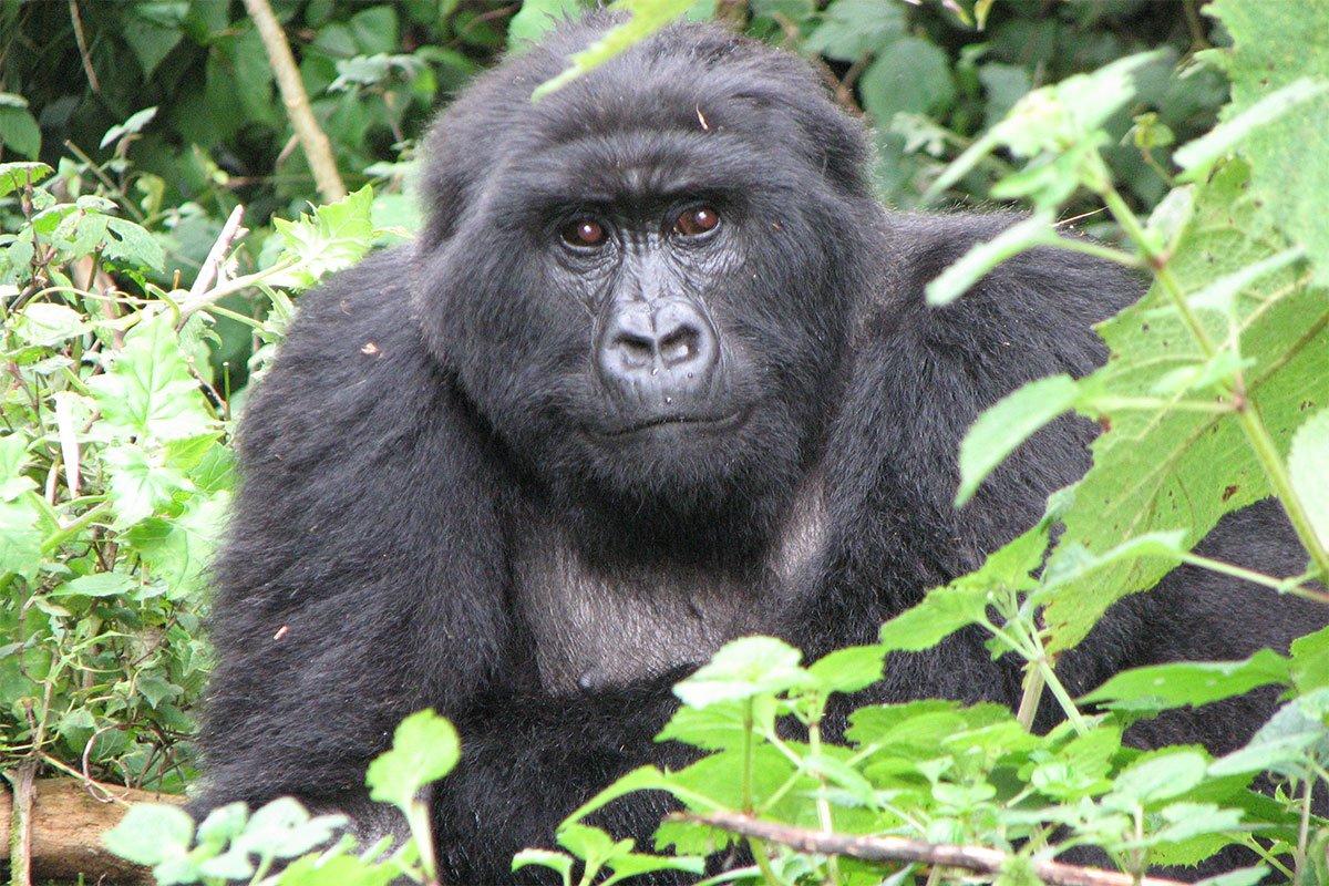 Booking mgahinga gorilla permits