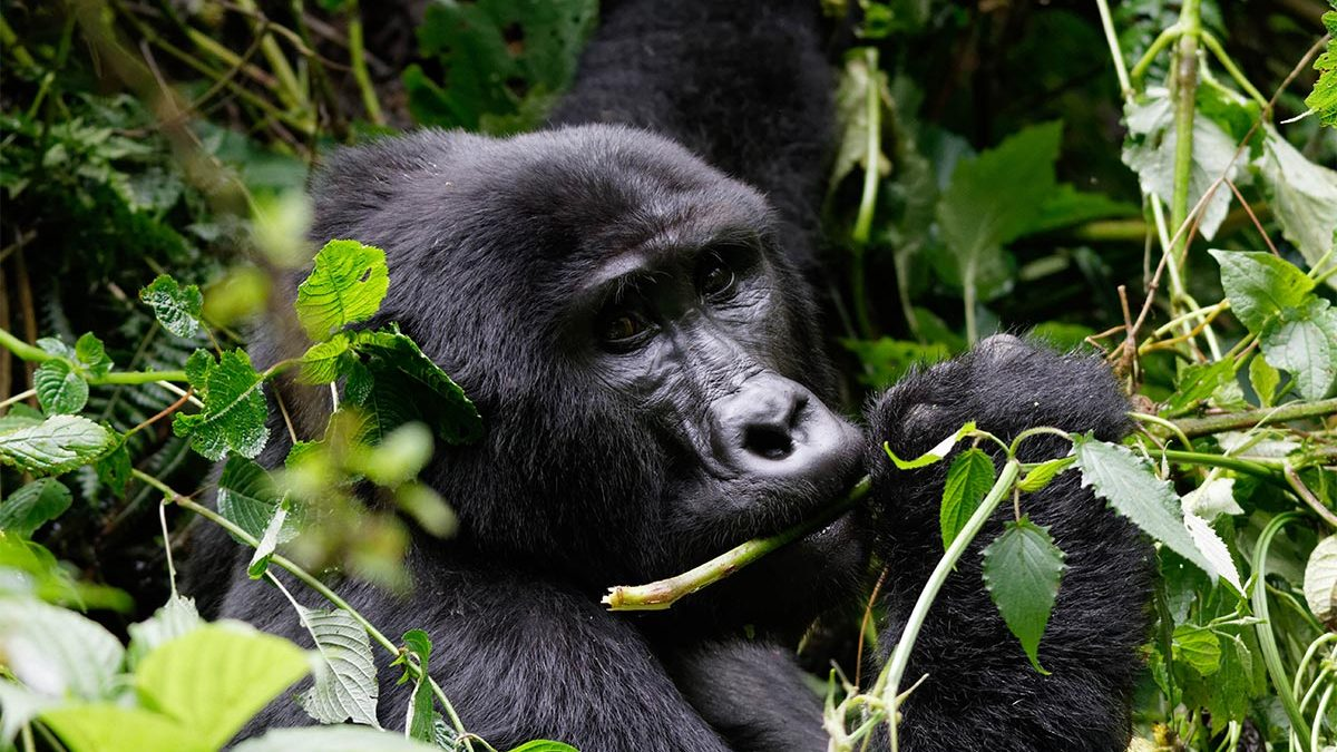 Booking Rwanda gorilla permits 2020-2021