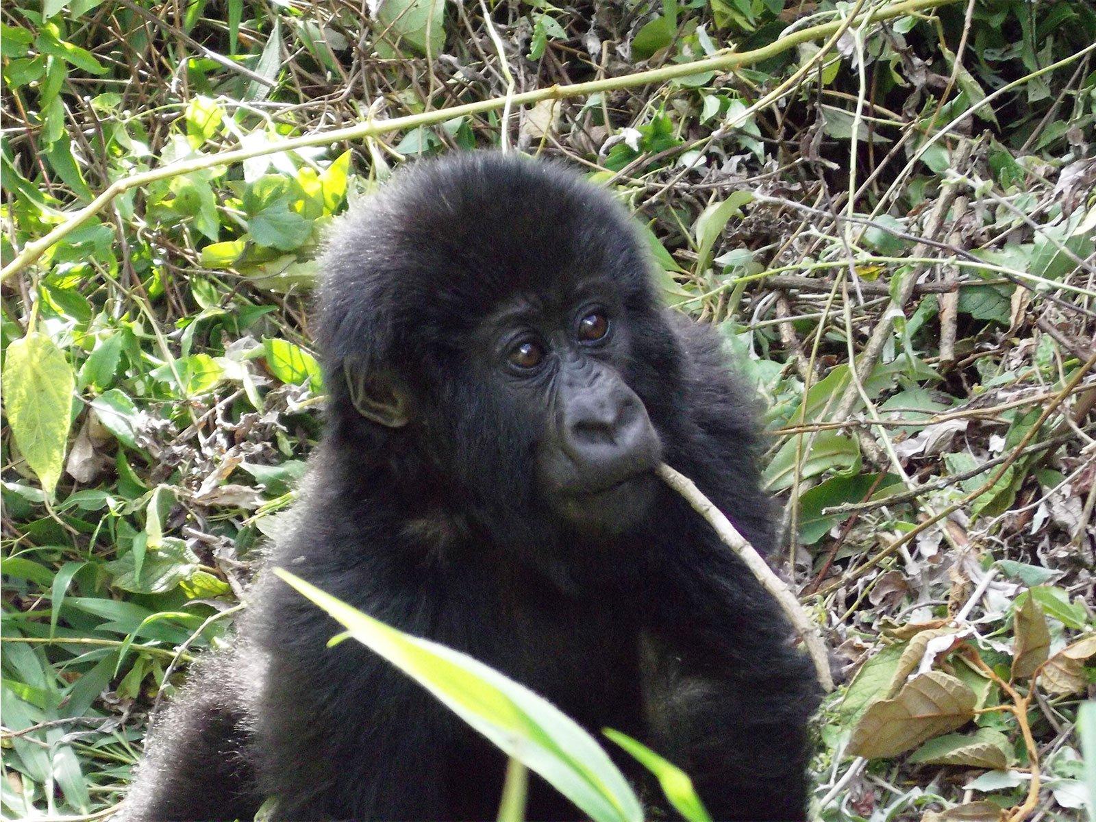 Booking Rwanda last minute gorilla tracking safari