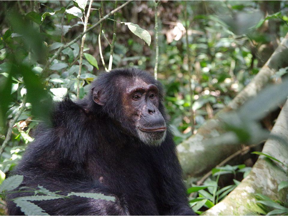 Booking chimpanzee tracking permits in Uganda