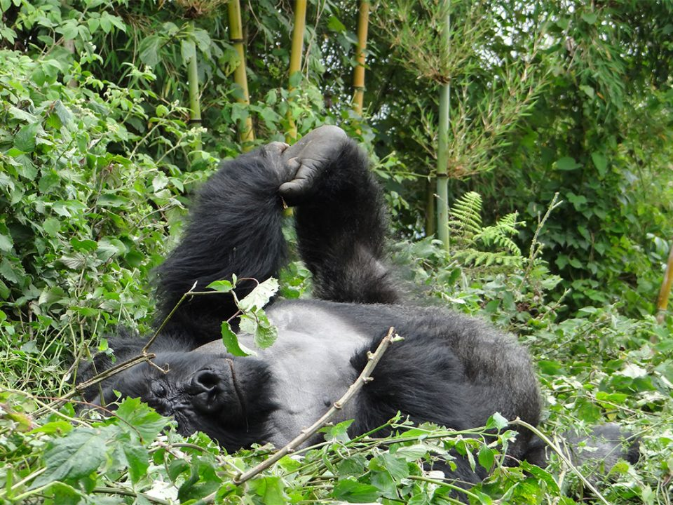 Booking gorilla permits from anywhere in the world