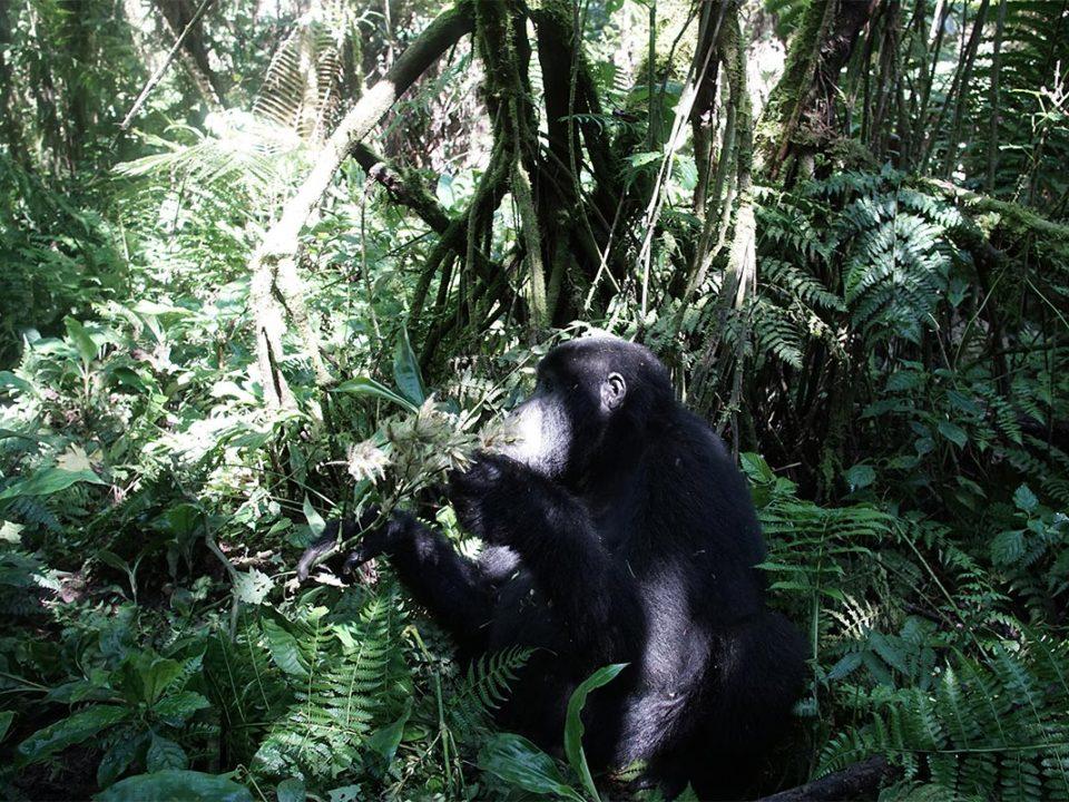 Booking Congo gorilla permits
