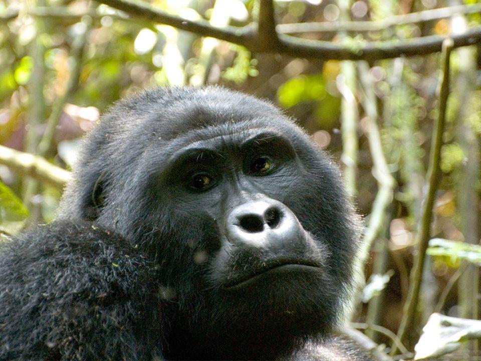 Budget Rwanda gorilla camping safaris