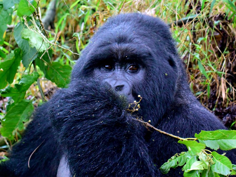 Budget Mgahinga gorilla trekking safari