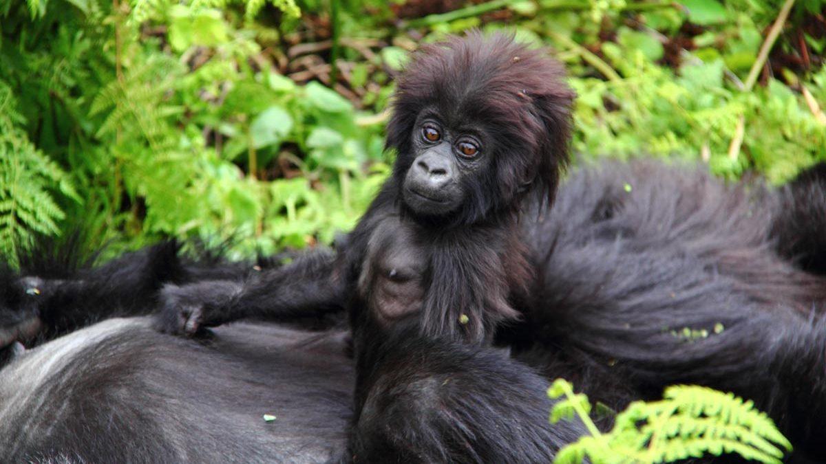 Buhoma Gorilla region, budget Gorilla tours
