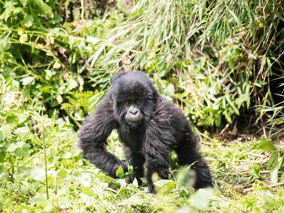 Bwindi gorilla safaris in Uganda
