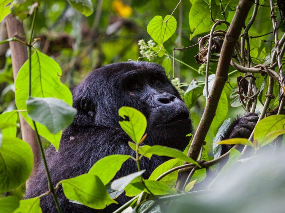 Bwindi gorilla tracking on budget