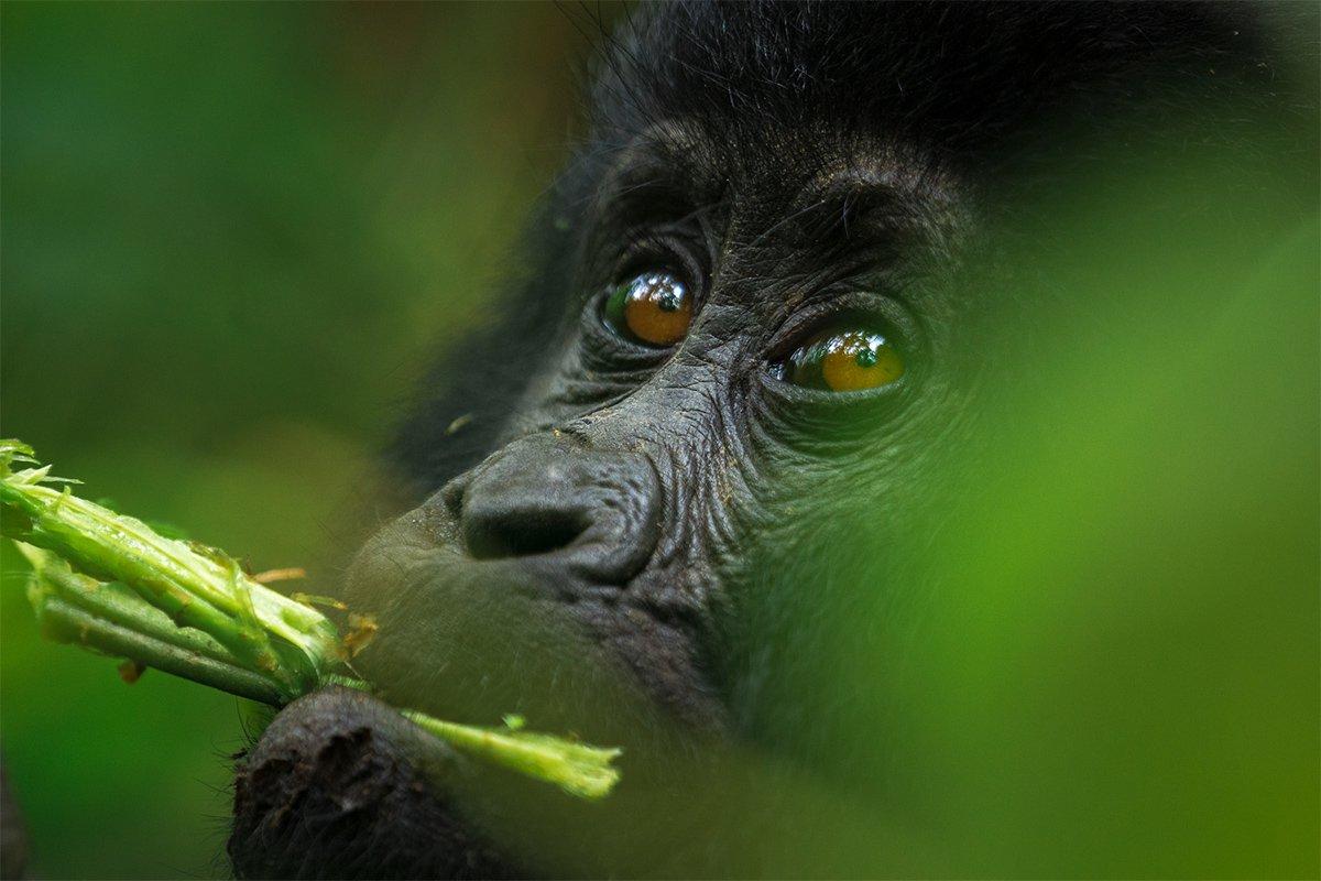 Gorilla families in Uganda
