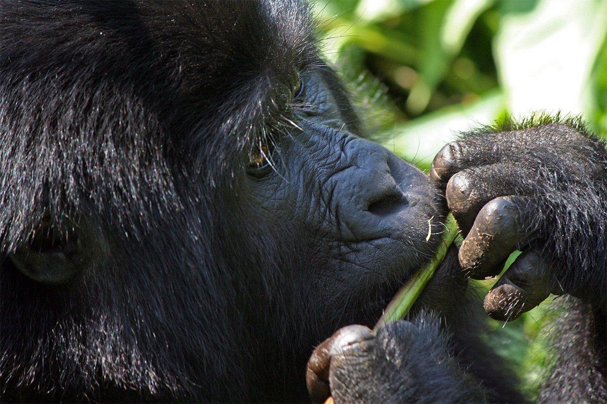 Gorilla trekking bwindi safaris from Zambia